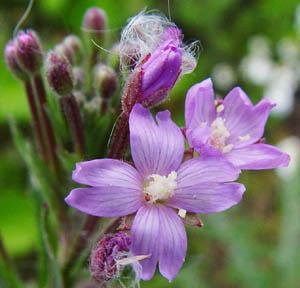 willow-herb-closeup